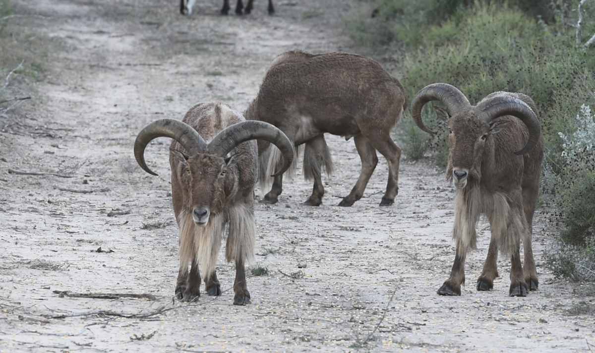 South Texas Aoudad Hunts